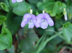 La violette de Rivin
