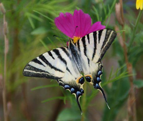 Le flambé, joli papillon d'été